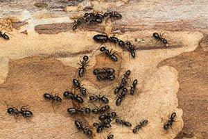 Ants - Knox Pest Control