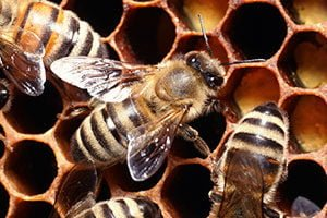 Bees- Knox Pest Control