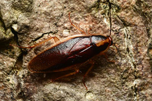 Cockroaches - Knox Pest Control