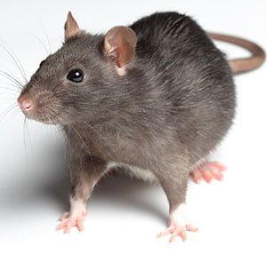 Rodent Control - Knox Pest Control