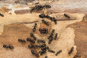 Ants - Knox Pest Control
